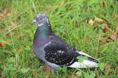 Eine freie Taube, die entlang Straße geht Taube unter Sonnenlicht Taube im Park Schöne Taube Lizenzfreie Stockfotografie