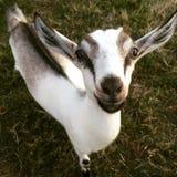 Eine freundliche Ziege Lizenzfreie Stockfotografie