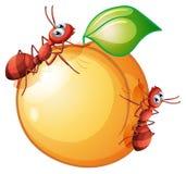 Eine Frucht mit zwei Ameisen Lizenzfreie Stockfotografie