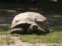 Eine Galapagos-Schildkröte Stockfotografie