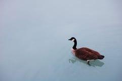 Eine Gans im Michigansee Lizenzfreies Stockbild