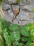 Eine Gartenkreuzspinne Stockfoto