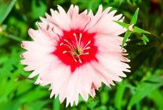 Eine Gartennelke Stockfoto