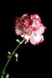 Eine Gartennelke auf einem schwarzen Hintergrund Lizenzfreie Stockfotos
