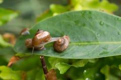 Eine Gartenschnecke mit dem Operculum dehnt vorwärts von einer Schnecke auf eine andere Schnecke aus Stockbilder