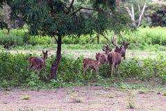 Eine gedrängte Herde von Rotwild stockfoto