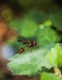 Eine gefährliche kleine Biene Stockbild