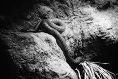 Eine gefährliche Schlange in seiner Höhle stockfoto