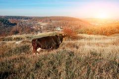 Eine gehörnte schwarze Kuh, die auf der Herbstlichtung mit gelbem und grünem Gras auf dem Hintergrund des Landes weiden lässt Stockbild