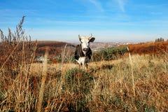 Eine gehörnte Schwarzweiss-Kuh, die auf der Herbstlichtung weiden lässt und entlang der Kamera auf dem Hintergrund des Landes ans Lizenzfreie Stockfotos