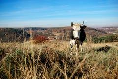 Eine gehörnte Schwarzweiss-Kuh, die auf der Herbstlichtung weiden lässt und entlang der Kamera auf dem Hintergrund des Landes ans Stockfotografie