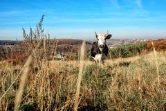 Eine gehörnte Schwarzweiss-Kuh, die auf der Herbstlichtung weiden lässt und entlang der Kamera auf dem Hintergrund des Landes ans Lizenzfreies Stockfoto