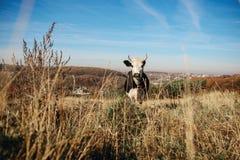 Eine gehörnte Schwarzweiss-Kuh, die auf der Herbstlichtung weiden lässt und entlang der Kamera auf dem Hintergrund des Landes ans Lizenzfreies Stockbild