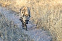 Eine gehende Hyäne stockbild