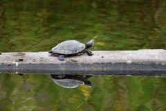 Eine gehende rote Ohr-Schildkröte stockbilder
