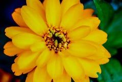 Eine gelb-orangee Sommersonnenblume stockfotografie