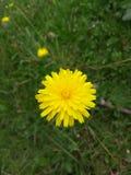 eine gelbe Blume lizenzfreies stockfoto