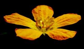 Eine gelbe Blume in einem Garten Stockfotos