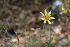 Eine gelbe Blume gegen das verblaßte gefallene-unten Laub von Bäumen Stockfotos