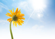 eine gelbe Gerberasonnenblume gibt ein nettes Gefühl stockfotografie