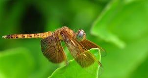 Eine gelbe Libelle Lizenzfreies Stockfoto