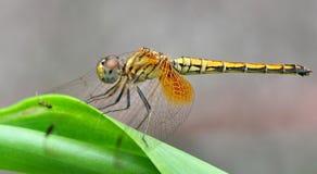 Eine gelbe Libelle Stockfoto