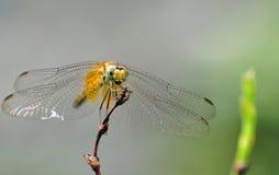 Eine gelbe Libelle Lizenzfreie Stockbilder