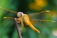 Eine gelbe Libelle mit einem reizenden Lächeln Stockfotos