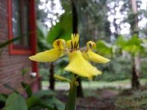 Eine gelbe Orchidee neben Haus stockfotos