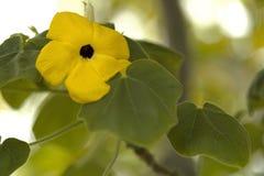 Eine gelbe Primel mit Wassertröpfchen auf den Blumenblättern stockbild