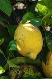 Eine gelbe reife Zitrone, die vom Baum hängt Lizenzfreie Stockfotos