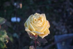 Eine gelbe Rose im Retiro-Park lizenzfreies stockbild
