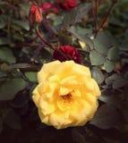 Eine gelbe Rosenblume stockbilder