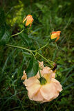 Eine gelbe Teerose, zwei Knospen mit Tropfen auf seinen Blumenblättern und tot stockfotografie