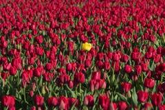 Eine gelbe Tulpe Lizenzfreie Stockfotos