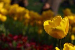Eine gelbe Tulpe Stockbild