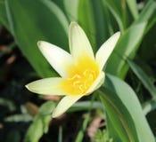 Eine gelbe Tulpe in einem Garten lizenzfreie stockfotografie