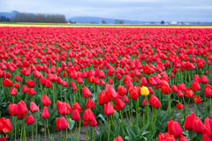 Eine gelbe Tulpe im roten Tulpenfeld Lizenzfreie Stockfotos
