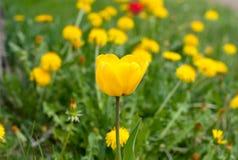 Eine gelbe Tulpe zwischen einem Feld des gelben Löwenzahns im Frühjahr lizenzfreie stockbilder
