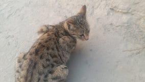 Eine gemeine indische Haus-Katze lizenzfreies stockfoto