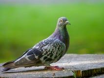 Eine gemeine wilde Taube saß auf einem Baumstumpf, der die Kamera betrachtet lizenzfreies stockbild
