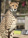 Eine Gepard-Aufstellung lizenzfreie stockfotografie