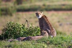 Eine Gepardmutter mit zwei Kindern in der Kenyan Savanne stockbild