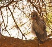 Eine gestörte Verreaux´s Adler-Eule Lizenzfreie Stockfotos