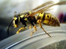 Eine gestreifte Biene, die auf Rand sitzt Stockfotografie