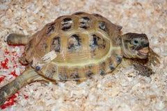 Eine gewöhnliche Schildkröte sitzt im Sägemehl Stockbild