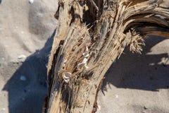 Eine gewaschene Wurzel mit Oberteilen auf dem Strand stockfoto