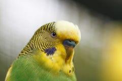 Eine gewellte Papageiennahaufnahme Lizenzfreie Stockfotografie