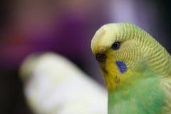 Eine gewellte Papageiennahaufnahme Stockbilder
