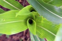 Eine gewundene Form eines jungen Maispflanzeblattes Lizenzfreie Stockbilder
